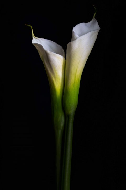 Pair of Calla Lilies