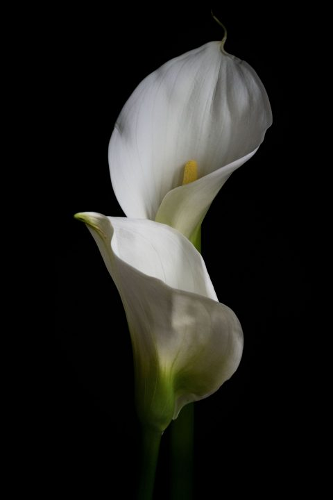 Close up of Calla Lilies