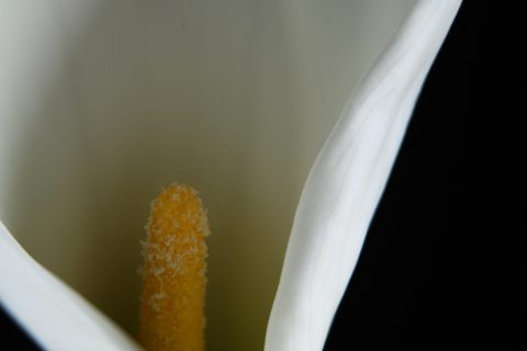 Close up of lily